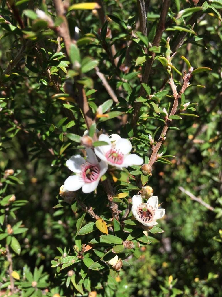 Manuka Strauch mit Blüte